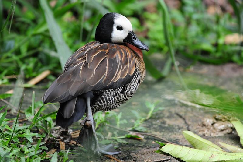 White-face whistling duck. Iguaza carats, Dendrocygna viduata