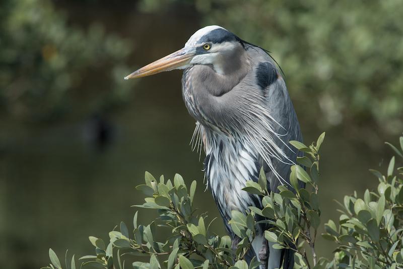 great blue heron, garza real l area herodias