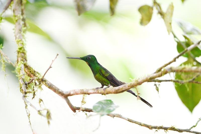 long-billed starthroat, picudo coronado, Heliomaster longirostris