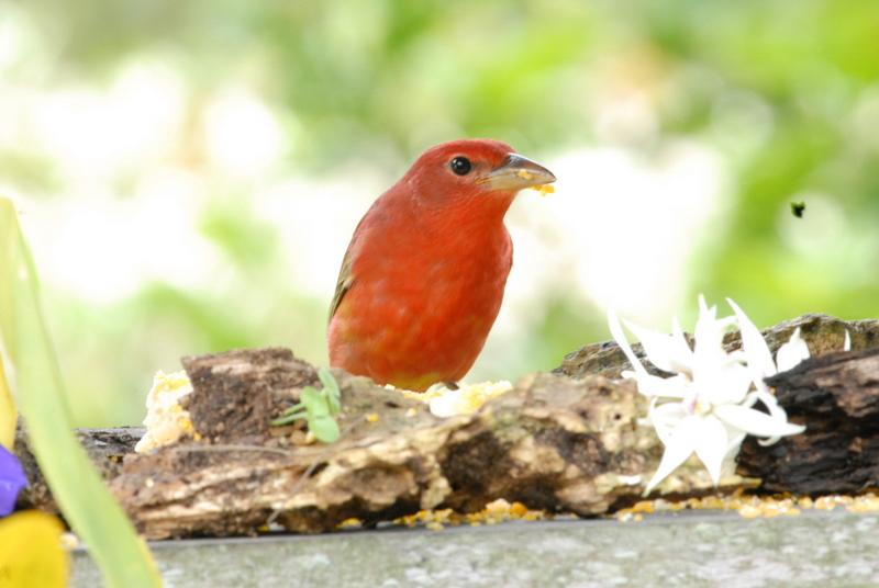 Cardinals - Cardenales, Cardinalidae