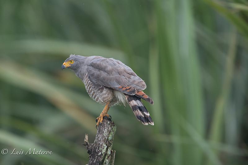 Roadside hawk | Gavilan Caminero | Rupornis magnirostris