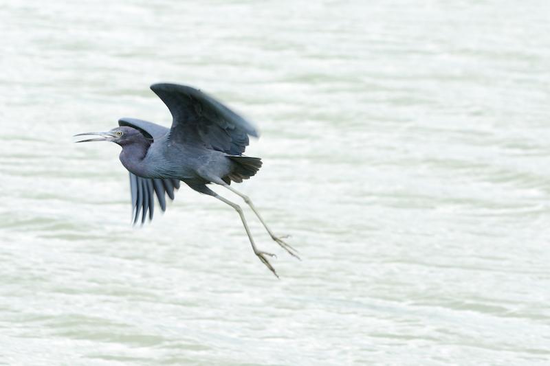 little blue heron, garza Azul, Egretta caerulea
