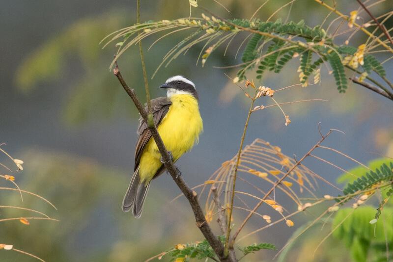 Tropical Kingbird, Siriri Comun, Tyrannus melancholicus
