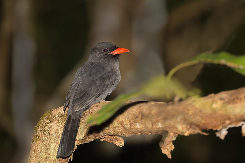 puffbird, nunbird, monjita piquirroja, bucconidae