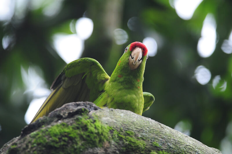 Scarlet-fronted macaw