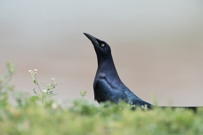 Great-tailed grackle, María mulata