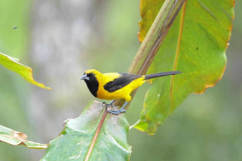 yellow-backed oriole, turpial montañero, Icterus chrysater