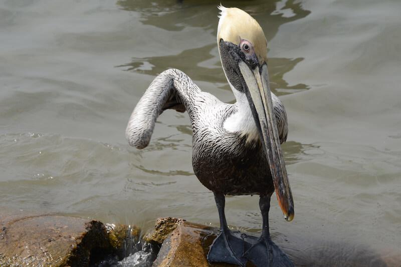 Pelicans - Pelícanos, Pelecanidae