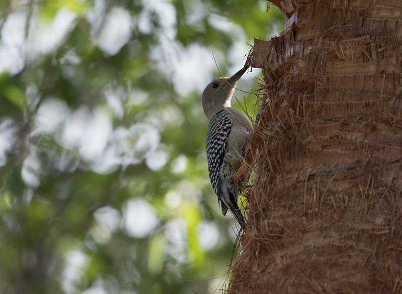 Red-crowned woodpecker | Carpintero habado | Melanerpes rubricapillus