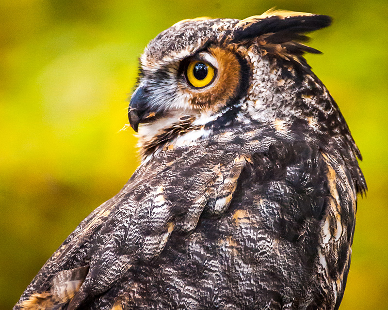 Great Horned owl, buho real, Strigidae
