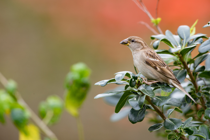 House Sparrow, Copeton europeo