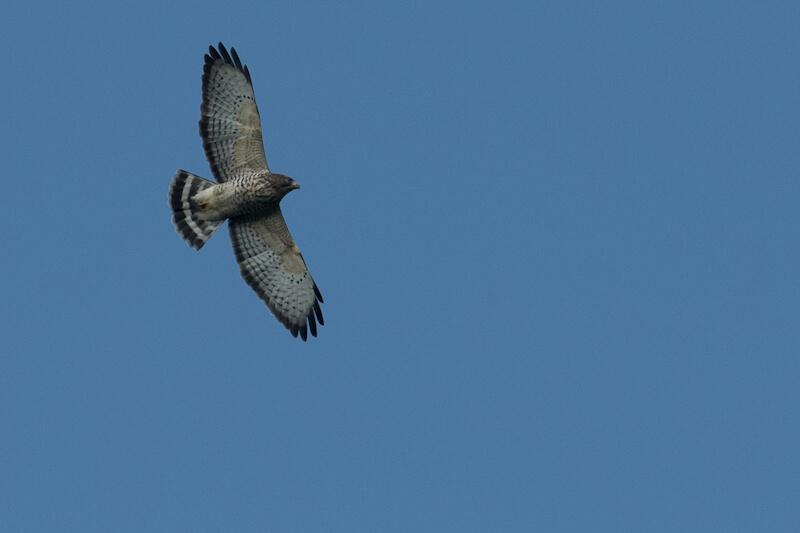 Broad-winged hawk, Halcón migratorio