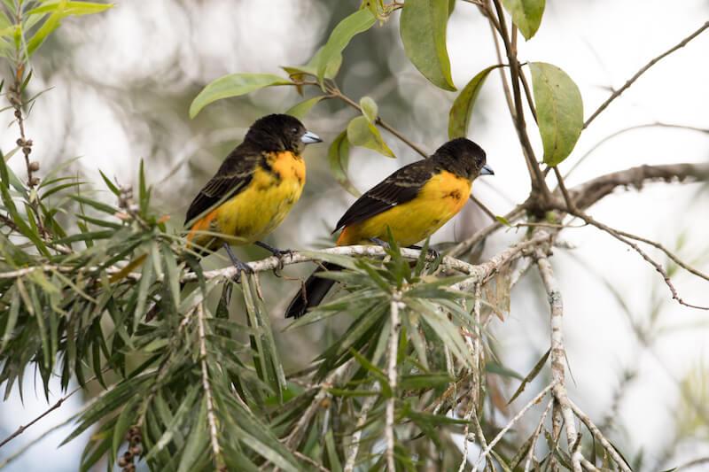 red-jumped-tanager, ramphocelus flamingerus,asoma candela females