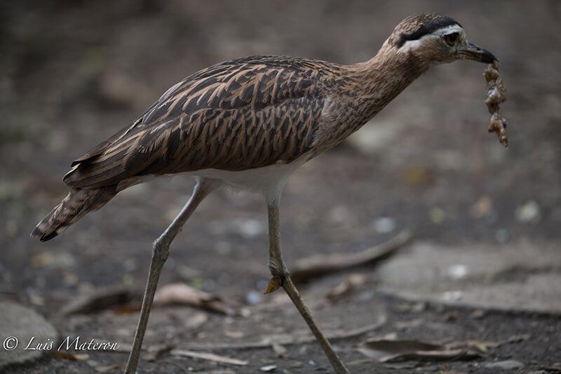 Thick knee, alcavaran, Burhinidae