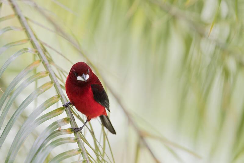 crimson back tanager | asoma terciopelo | ramphocelus dimidiatus