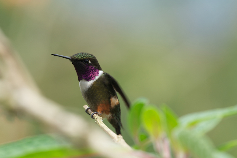 purple throated woodstar male