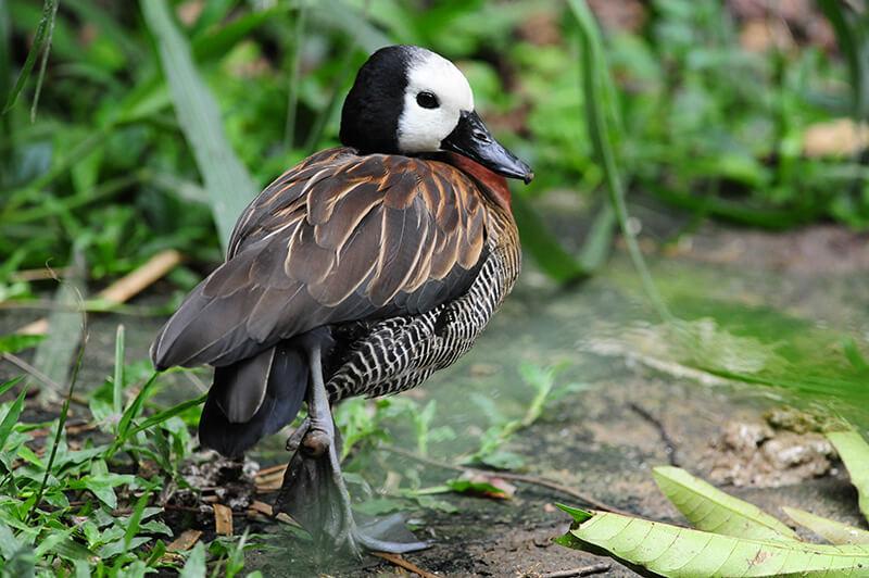 White face whistling duck| Iguaza carata | Dendrocygna viduata