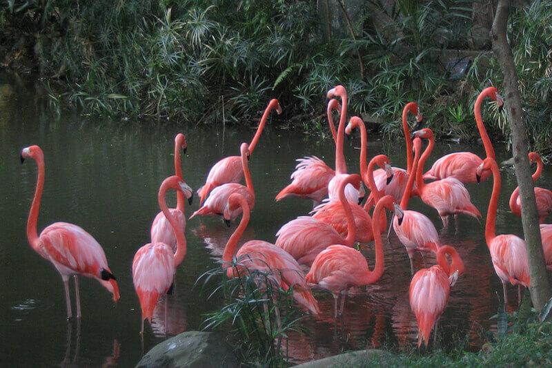 American Flamingo, Flamenco americano, Phoenicopterus ruber