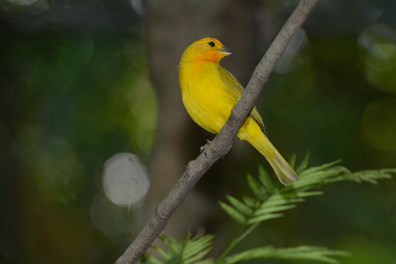 saffron finch | Canario coronado | Sicalis flaveola