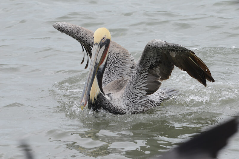 brown pelican, pelecanus occidentalis, pelicano pardo