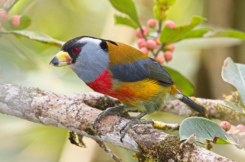 Toucan Barbet, Compás, Semnornithidae
