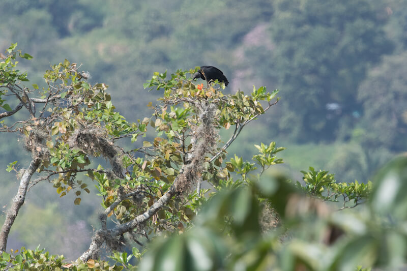 Black vulture, Gallinazo negro