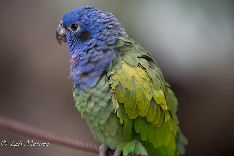 Pionus menstruus - cotorra cheja- blue-headed parrot