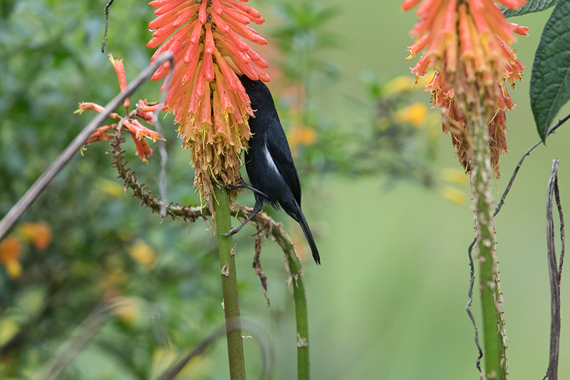 picaflor negro, Black Flowerpiercer | Diglosa Negra | Diglossa humeralis