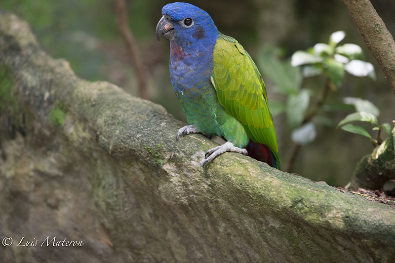 Blue-headed parrot, cotorra cheja, Pionus menstruus
