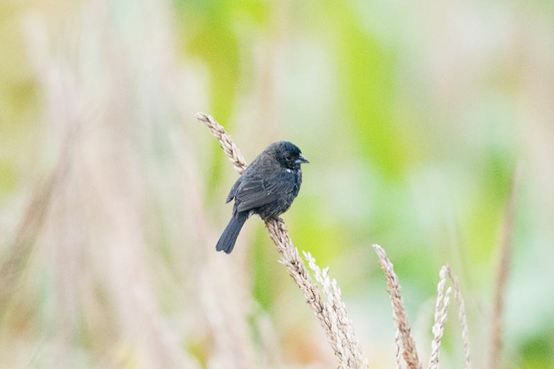 Blue-black grassquit, Volatina jacarina, Volatinero Negro