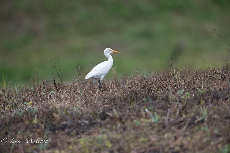 Cattle Egret | Garcita del Ganado | Bubulcus ibis
