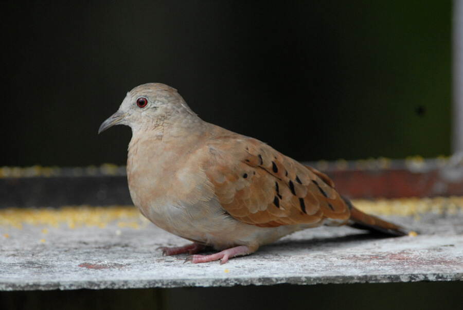 Ruddy-ground-dove, Tórtola comun, Columbina talpacoti