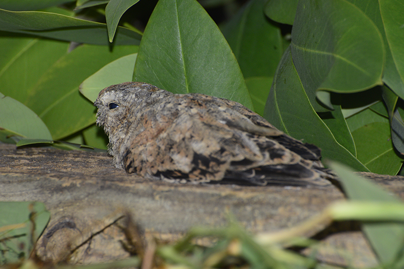 Common Nighthawk | Chotacabras Migratorio | Chordeiles minor