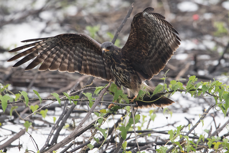 Broad-winged hawk, Halcón migratorio