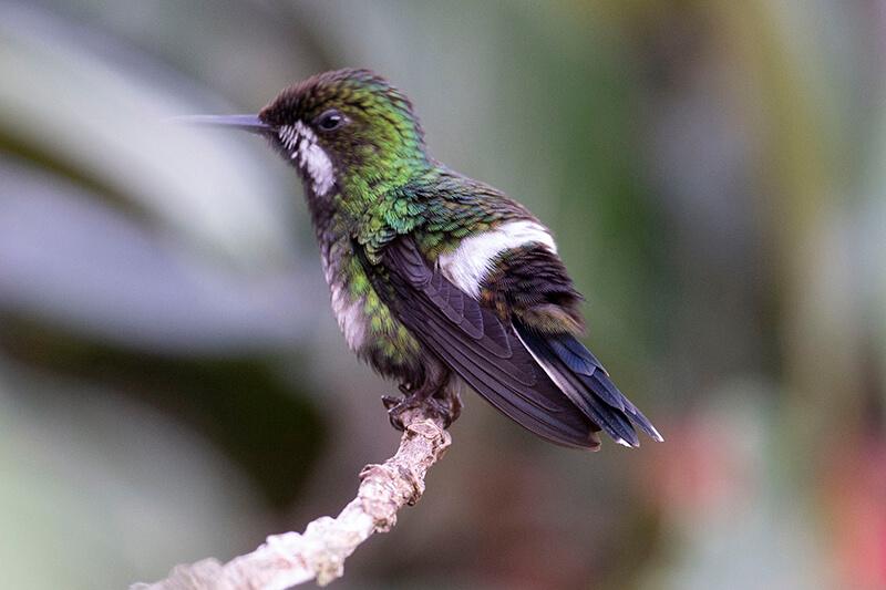 Cola-de-lira Verde, Green Thorntail, Discosura conversii