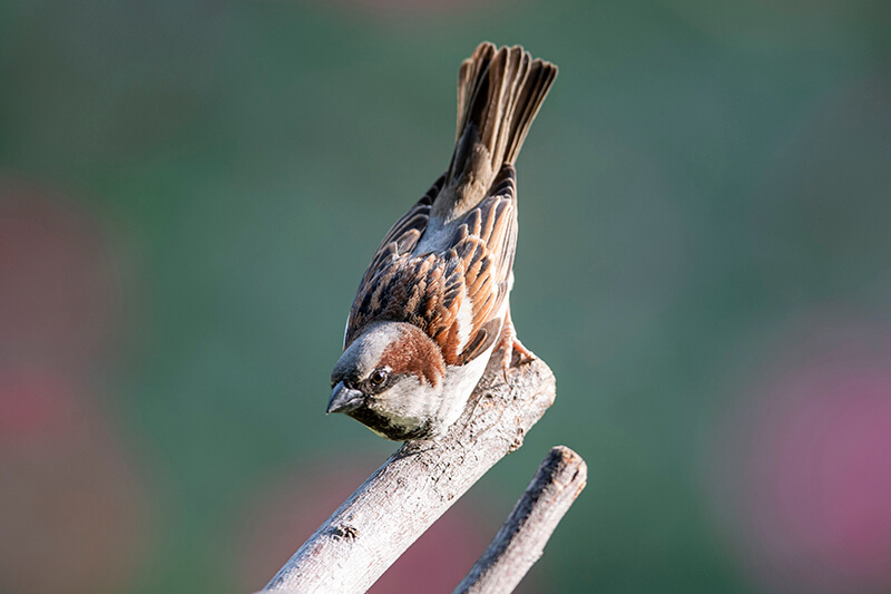 House sparrow, Copeton europeo, Passer domesticus