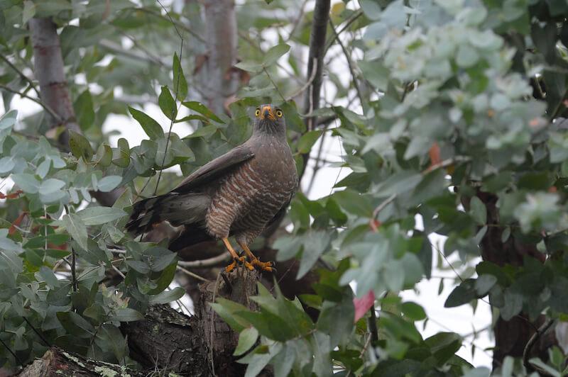 Accipitridae, hawks, eagles