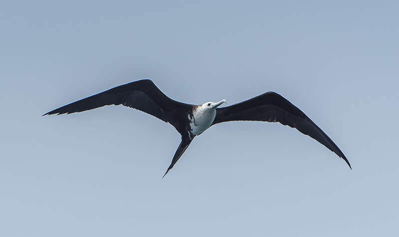 Great Frigatebird, Fragata alibandeada, Fregata minor
