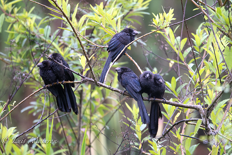 Garrapatero mayor, Groove-billed ani