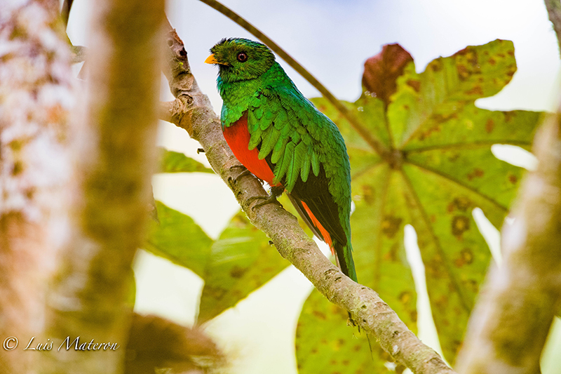 Quetzal colinegro