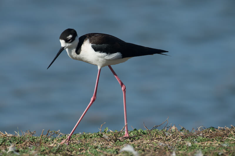 Black-necked stilt,