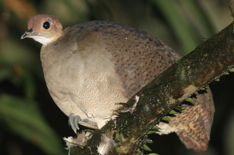 Tinamidae