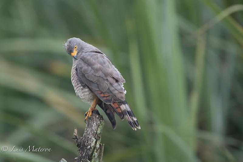 Roadside hawk   Gavilan Caminero    Rupornis magnirostris