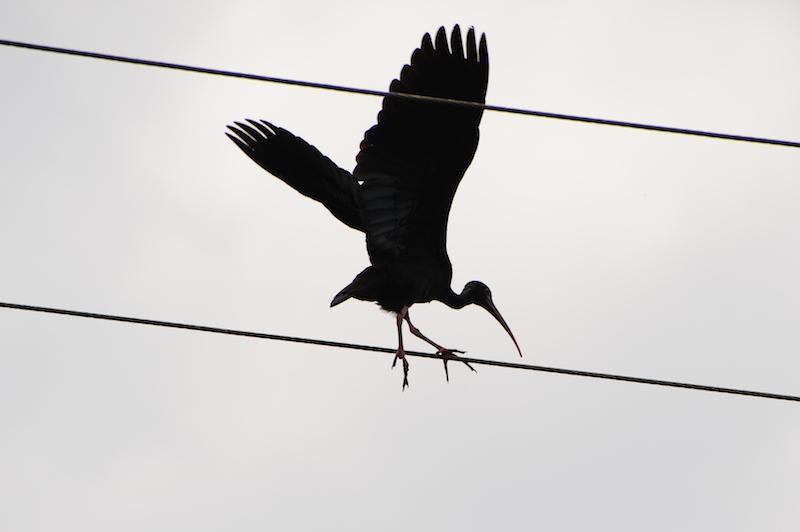 Bared-face ibis| Coquito| <em>P</em><em>himosus infuscatus</em>