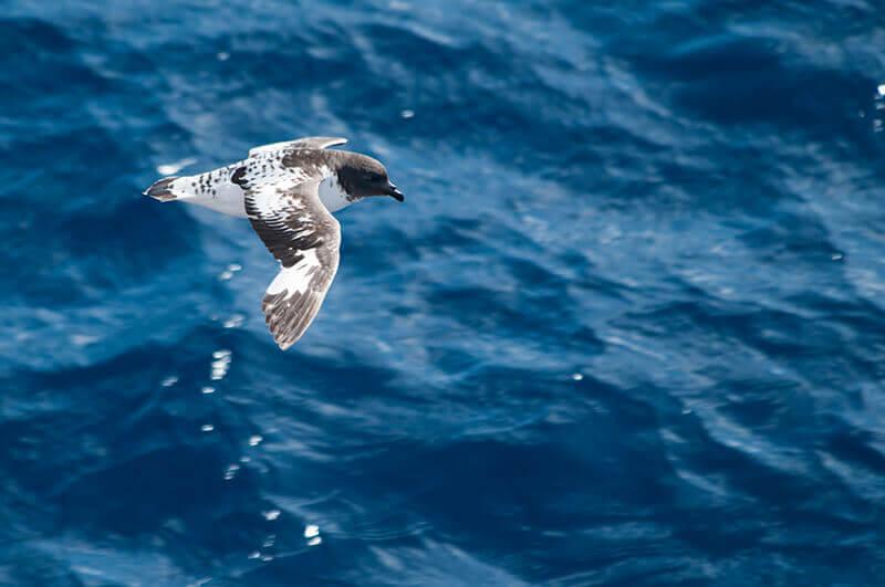 Daption capense, Cape petrel, Damero del Cabo