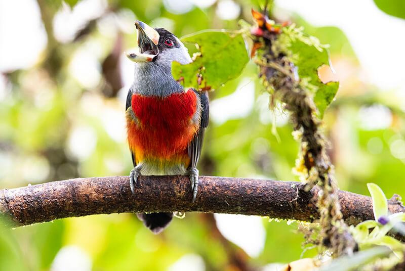Toucan Barbet, a bird of beautiful colors