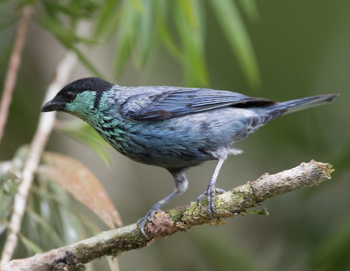 black-caped tanager male