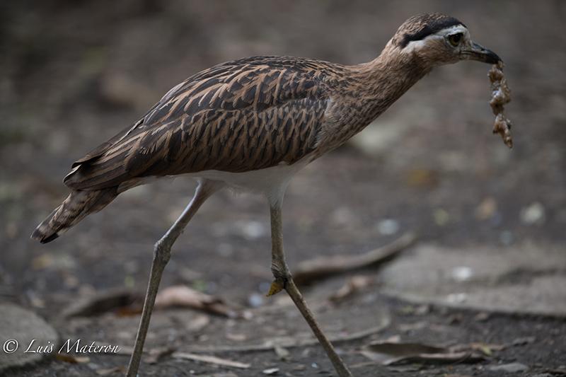 Thick-knee, Alcaravan, Burhinus bistriatus