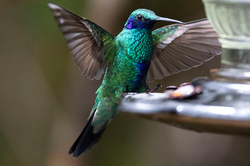 Sparkling violetear, Colibrí rutilante, Sparkling violetear   Colibrí rutilant   Colibri coruscans