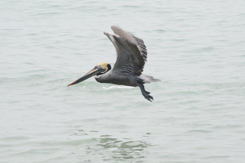 Brown pelican, Pelícano pardo, pelicano pardo, Pelecanus occidentalis